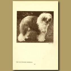 The Old English Sheepdog