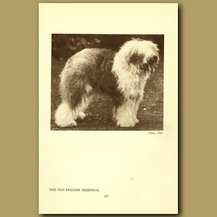 Antique print. The Old English Sheepdog