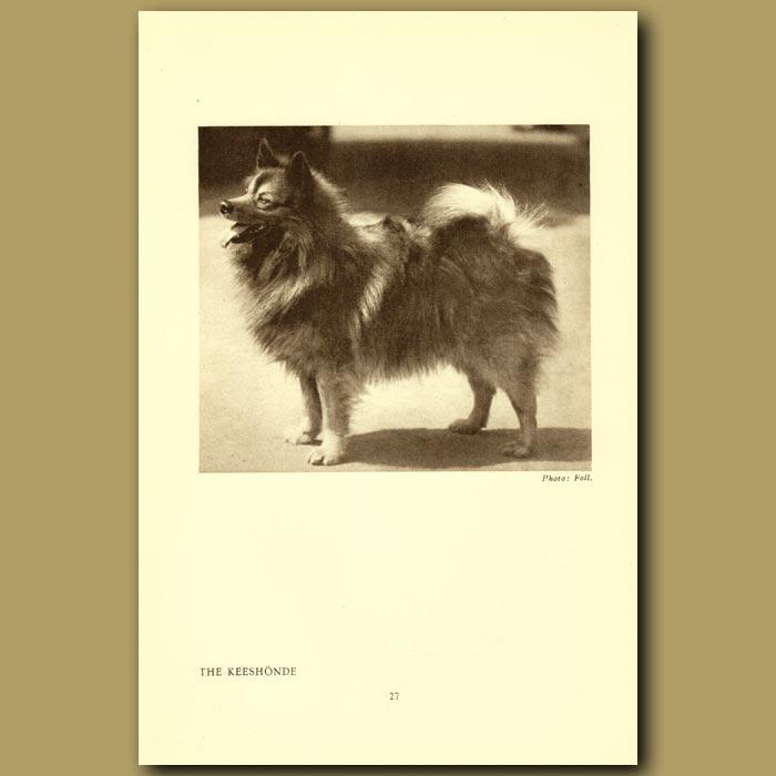 Antique print. The Keeshonde