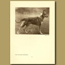 The Alsation Wolfdog