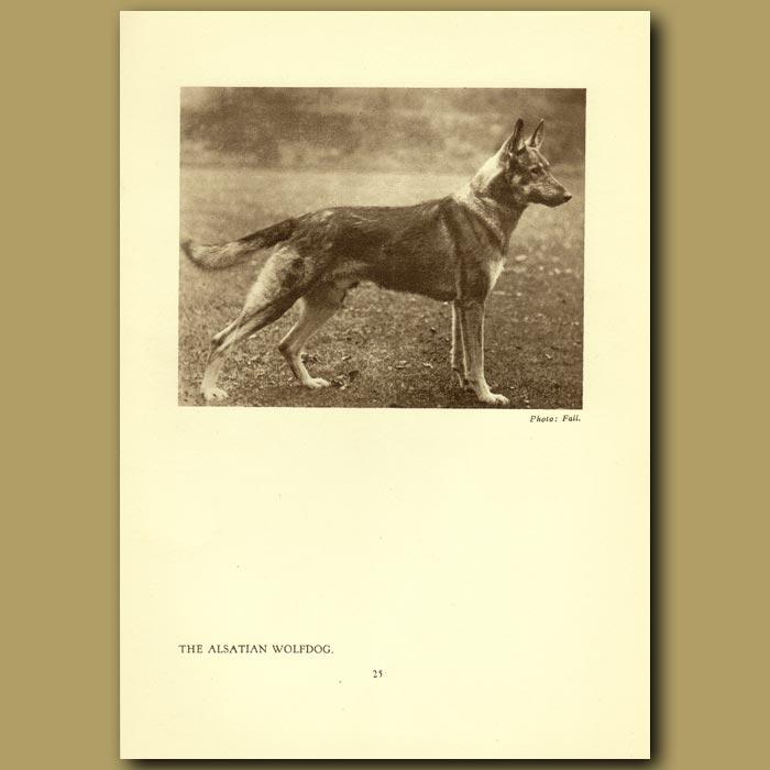 Antique print. The Alsation Wolfdog