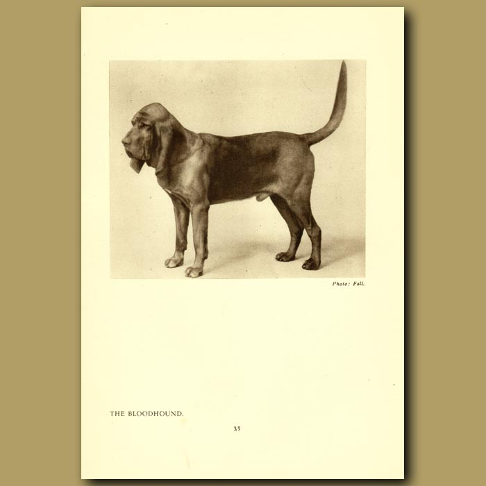 Antique print. The Bloodhound