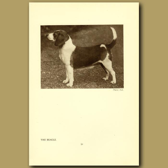 Antique print. The Beagle