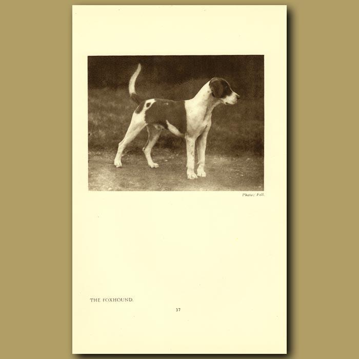 Antique print. The Foxhound