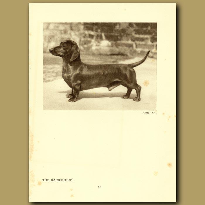 Antique print. The Dachshund
