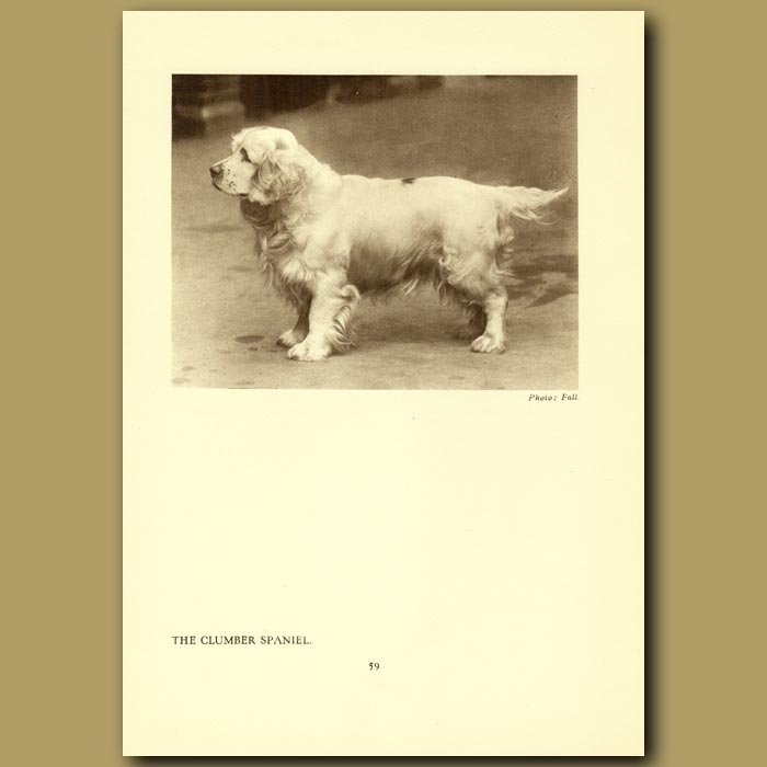 Antique print. The Clumber Spaniel