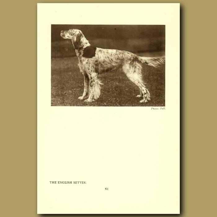 Antique print. The English Setter