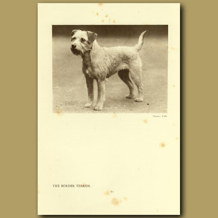Antique print. The Border Terrier