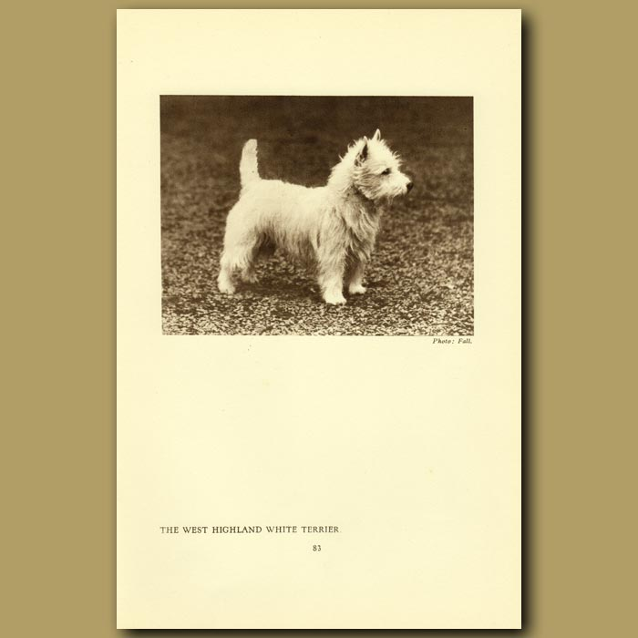 Antique print. The West Highland White Terrier