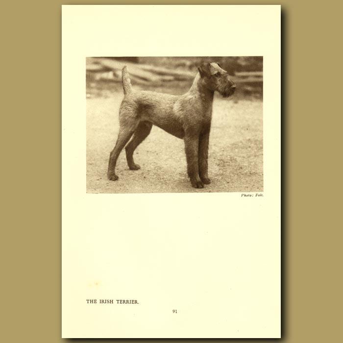 Antique print. The Irish Terrier