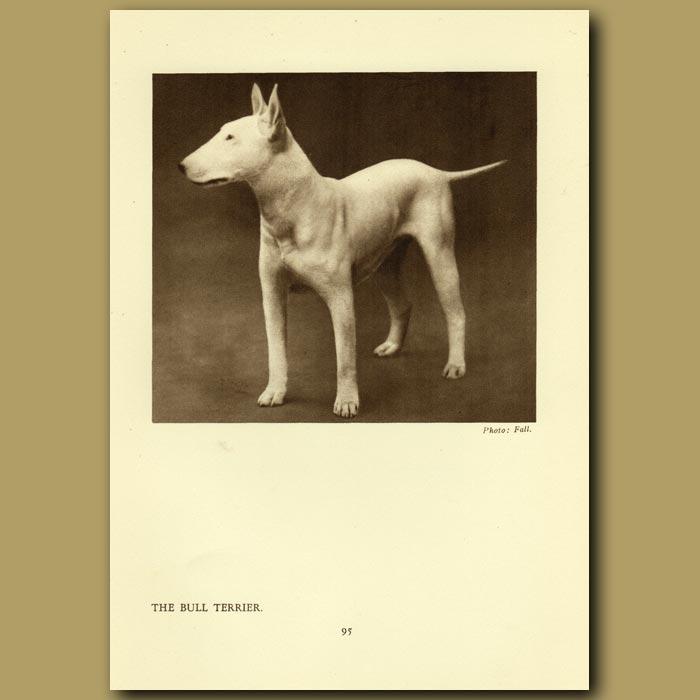 Antique print. The Bull Terrier