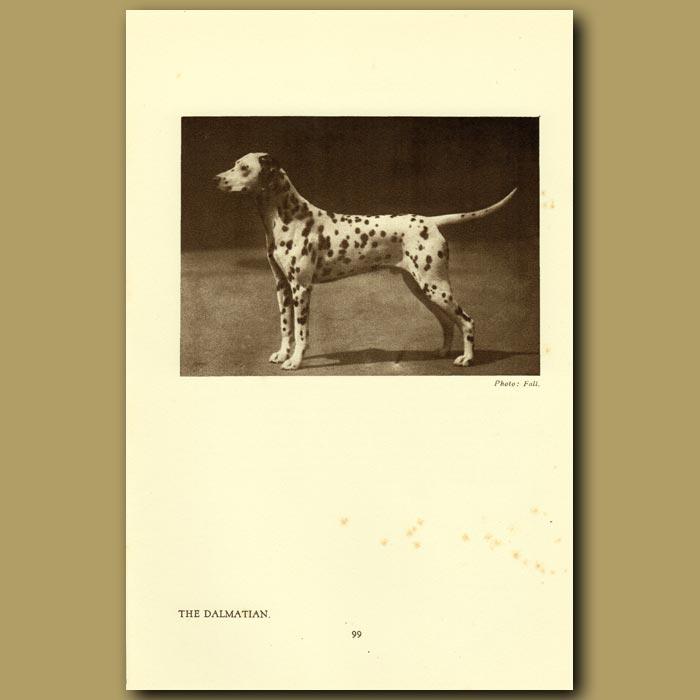 Antique print. The Dalmation