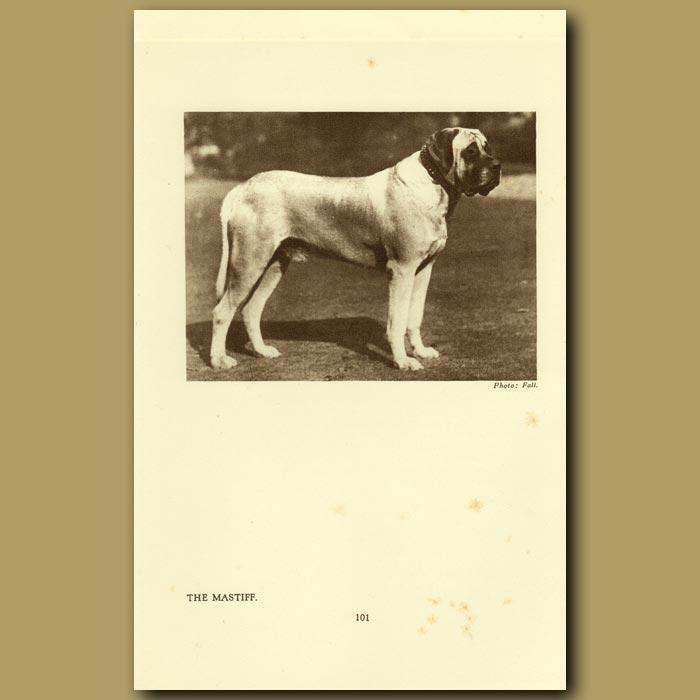 Antique print. The Mastiff