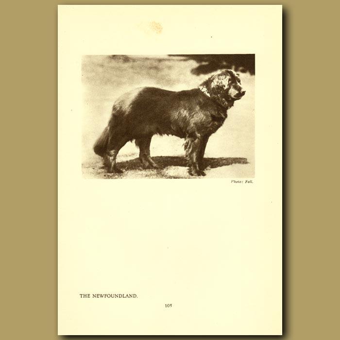 Antique print. The Newfoundland