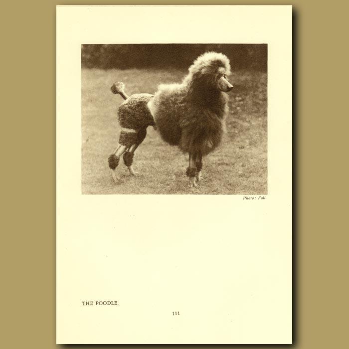 Antique print. The Poodle