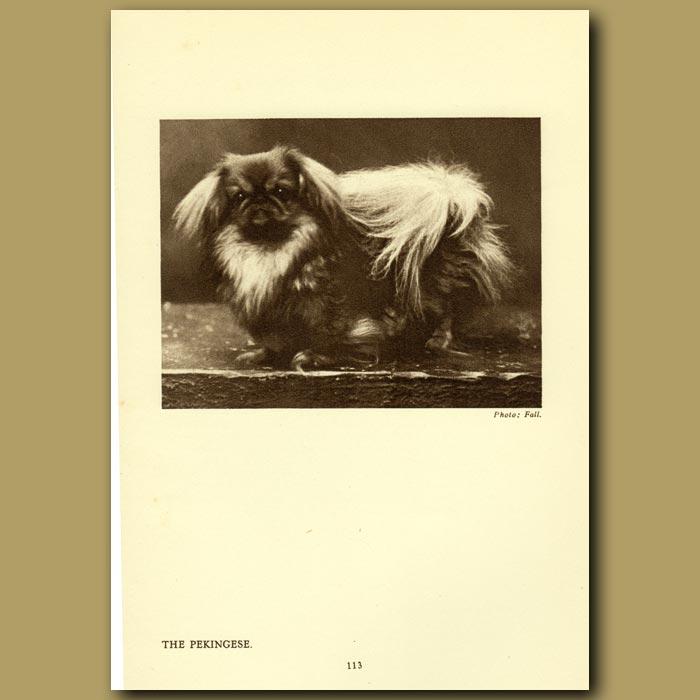 Antique print. The Pekingese