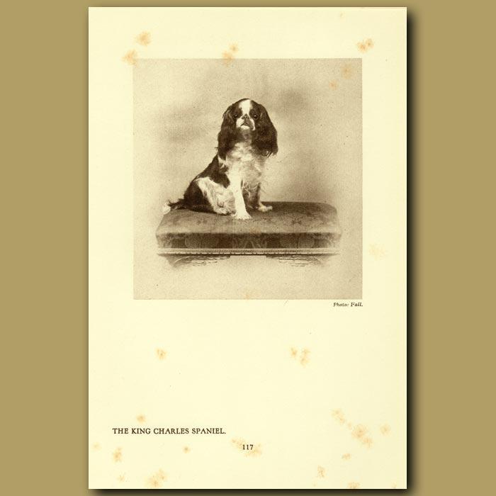 Antique print. The King Charles Spaniel