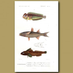 Flathead Mullet, Goby And Peacock Blenny