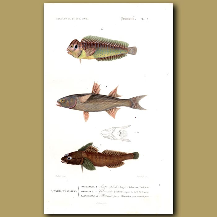Antique print. Flathead Mullet, Goby And Peacock Blenny
