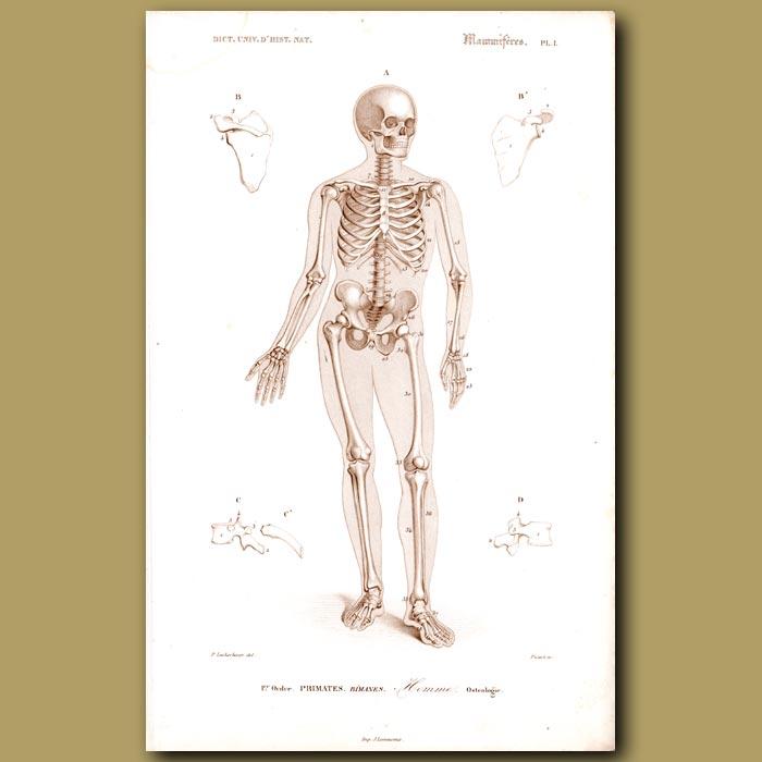 Antique print. Human Skeleton