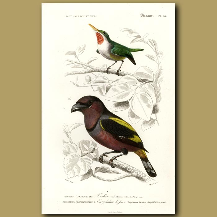Antique print. Green Tody And Banded Broadbill