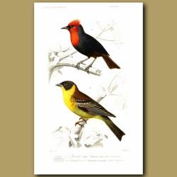Orange Weaver And Black-Headed Bunting