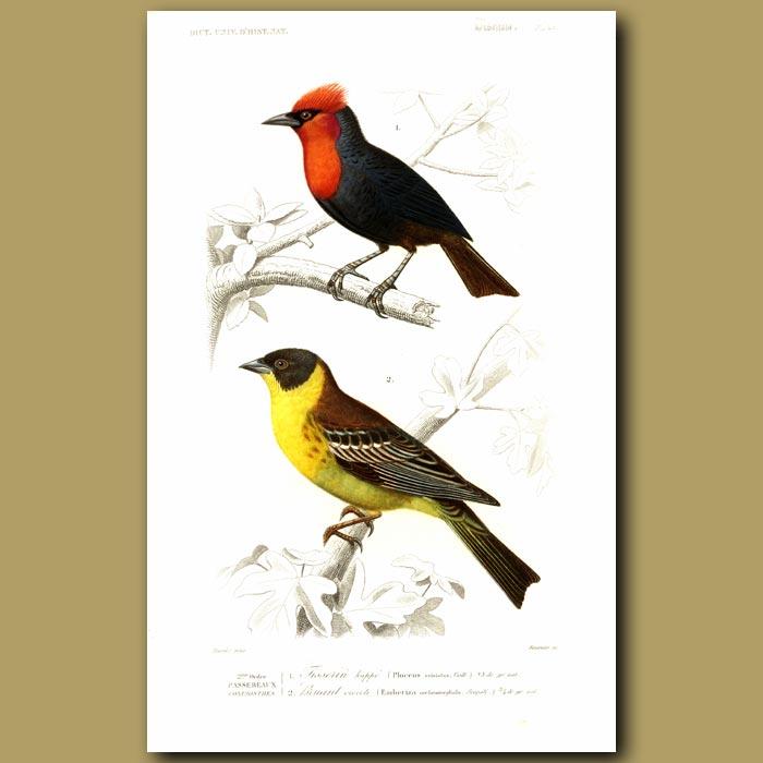 Antique print. Orange Weaver And Black-Headed Bunting