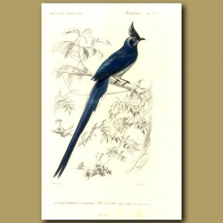 Colombia Jay