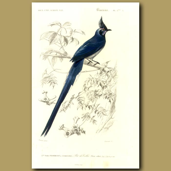 Antique print. Colombia Jay