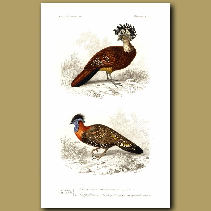Antique print. Great Curassow And Hastings Tragopan