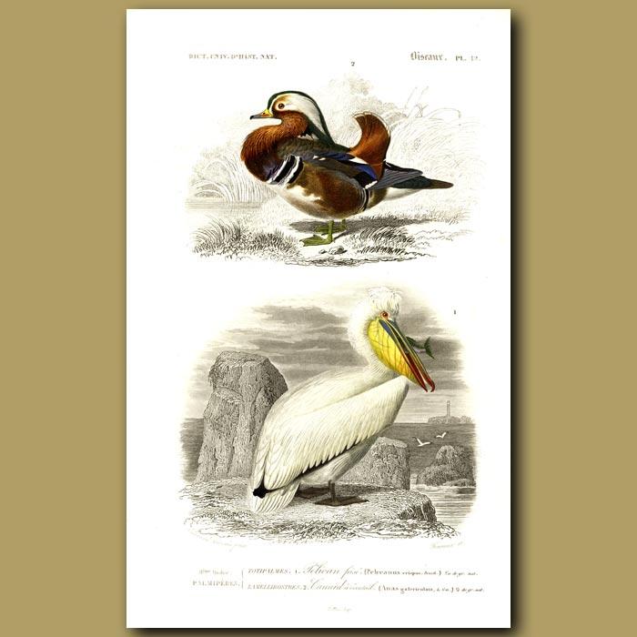 Antique print. Pelican And Mandarin Duck