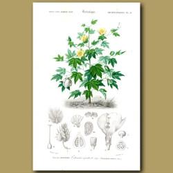 Cotton Bush