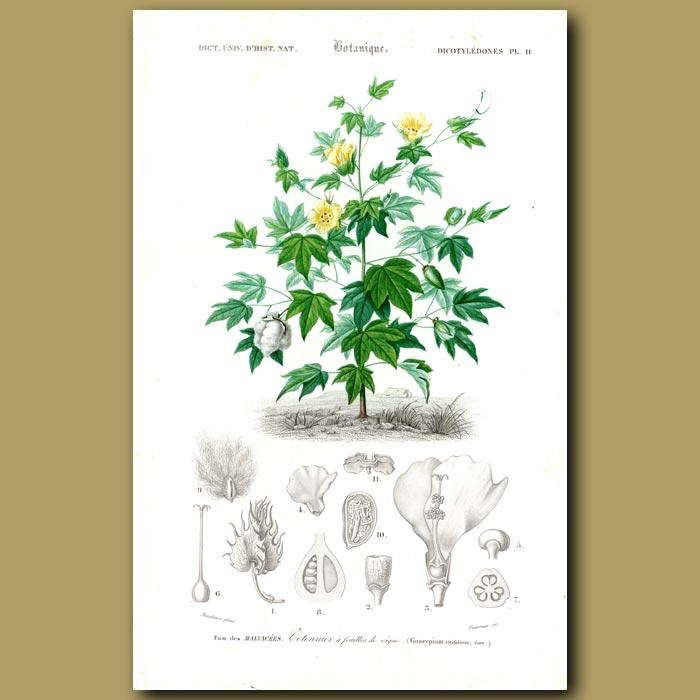 Antique print. Cotton Bush