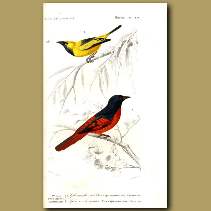 Antique print. Golden And Red Flycatchers