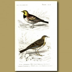 American Shore Lark And Pipit