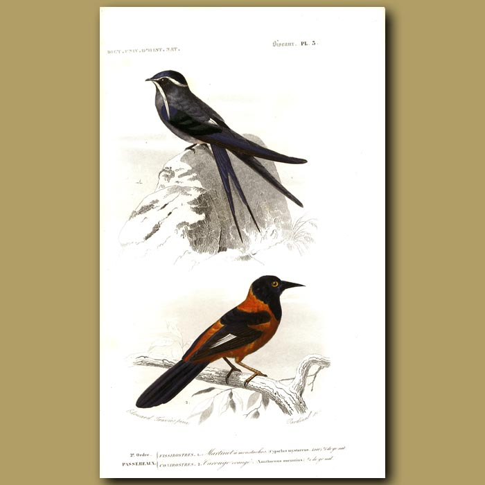 Antique print. Orange Oriole And Blue Swallow