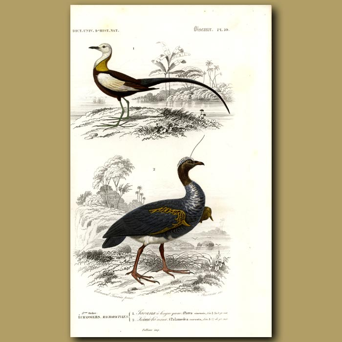 Antique print. Chinese Jacana And Horned Screamer