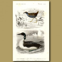 Great Northern Diver (State Bird Of Minnesota) And Wader