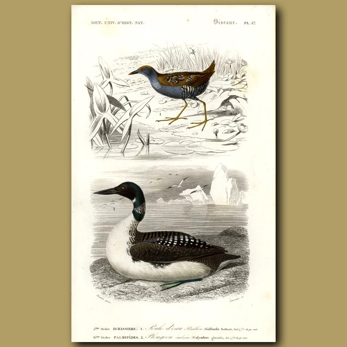 Antique print. Great Northern Diver (State Bird Of Minnesota) And Wader