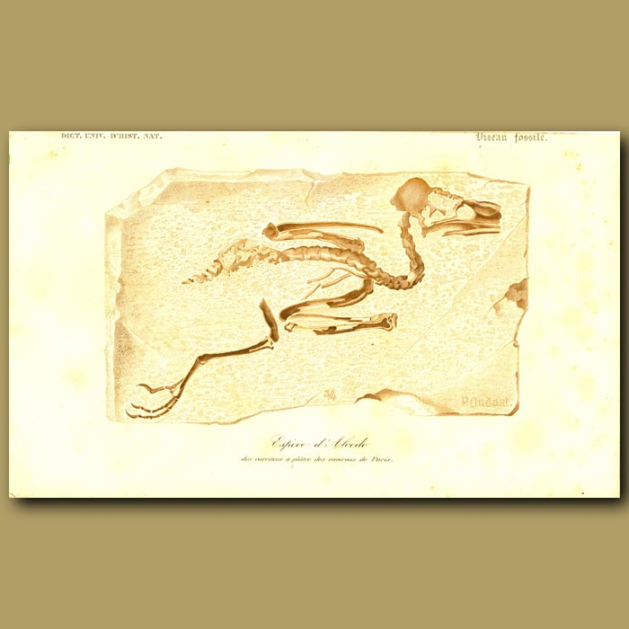 Antique print. Bird Fossil