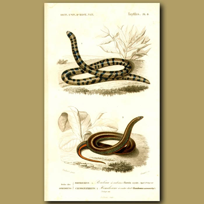 Antique print. Snakes Of The Tropics