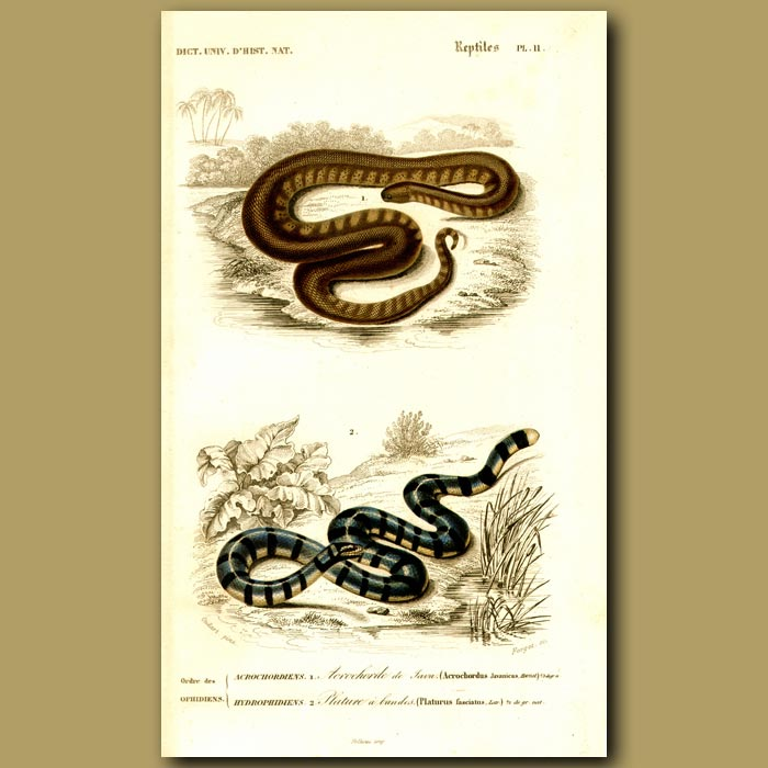 Antique print. Javan Elephant Trunk Snake And Sea Snake