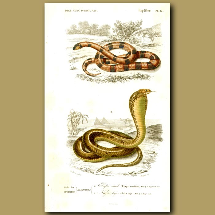 Antique print. Coral Snake And Egyptian Cobra (Asp)