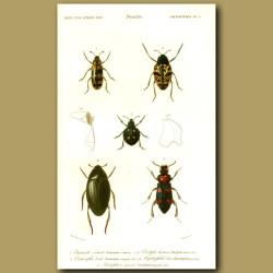 Water Beetles