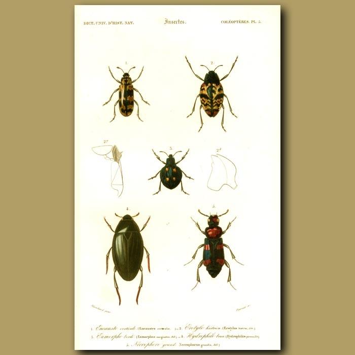Antique print. Water Beetles