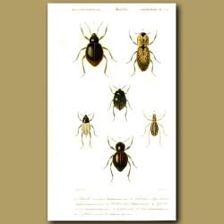 Darkling Beetles