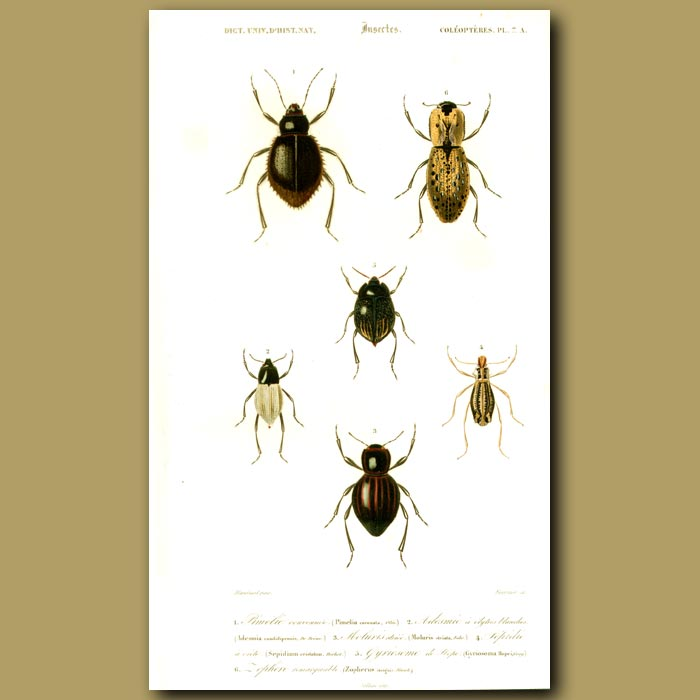 Antique print. Darkling Beetles