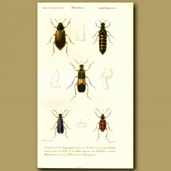 Red-Striped Oil Beetle And Others