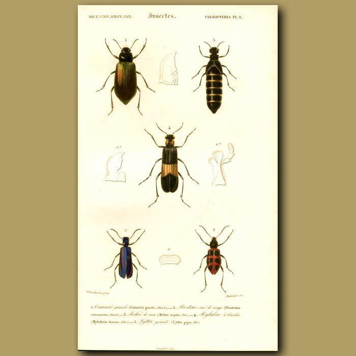 Antique print. Red-Striped Oil Beetle And Others