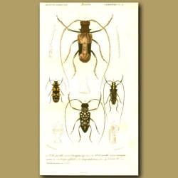 Long-Horn Beetles